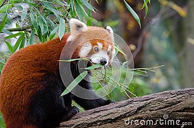Red Panda Free Public Domain Cc0 Image