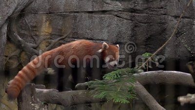 Red Panda Ailurus fulgens in Zoo Behind Cage Bars. Tiergewalt. Gefährdete Arten in Asien stock video