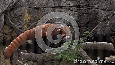 Red Panda Ailurus fulgenus allo zoo Behind Cage Bars Violenza animale Specie dell'Asia in pericolo archivi video