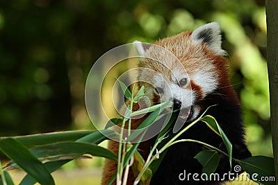 Panda bite - photo#37