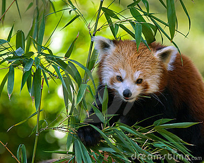 Red panda on bamboo tree
