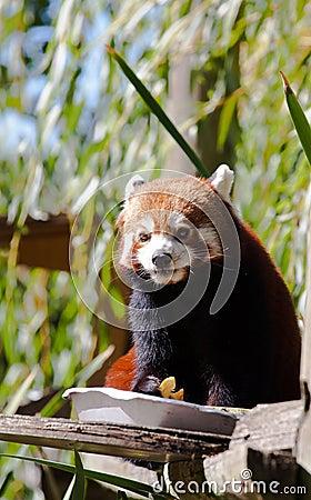Red panda eating friuits