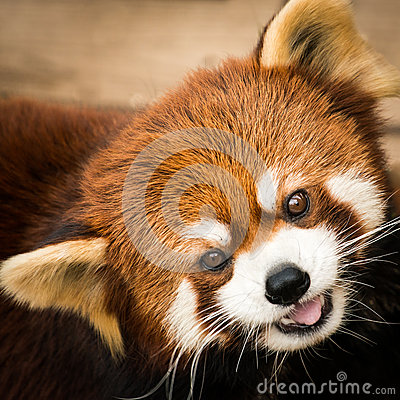 Free Red Panda III Royalty Free Stock Photography - 40276067
