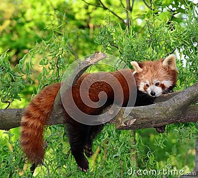 Free Red Panda,shining Cat Stock Image - 19514501