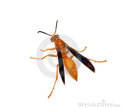 Free Red Paper Wasp Stock Image - 11770971