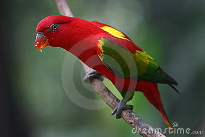 The Red Parrot