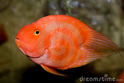 Red parrot fish royalty free stock image image 7350676 for Red parrot fish