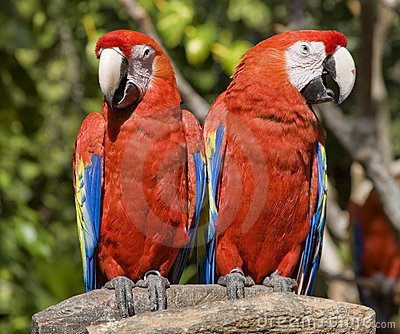 Red Parrots