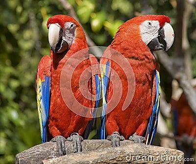 Red Parrots