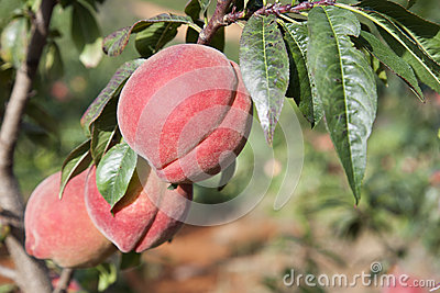 Red Peaches on Tree