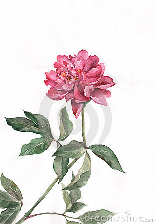 Red peony flower watercolor painting