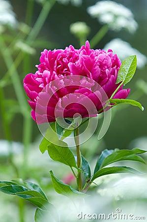 Red peony flowers