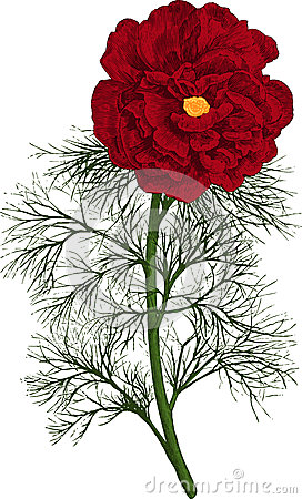 Red peony tenuifolia flower. Vector