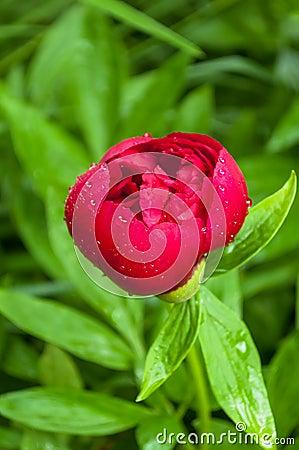 Red peonyafter rain