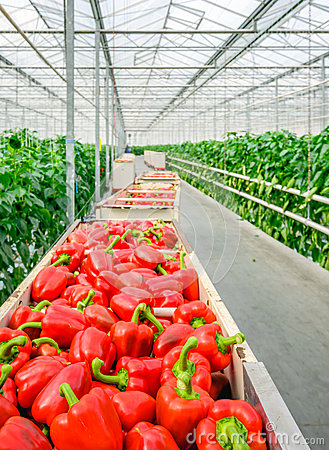Free Red Peppers In Harvesting Trolleys Stock Photos - 72696043
