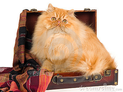 Red Persian in suitcase, on white background