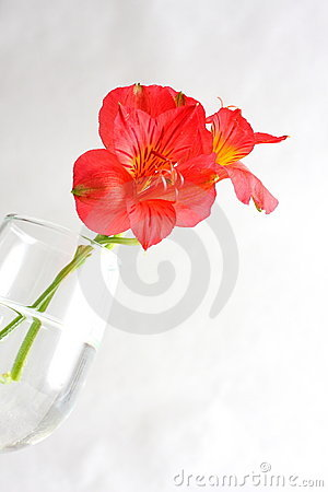 Free Red Peruvian Lily Royalty Free Stock Images - 5467859