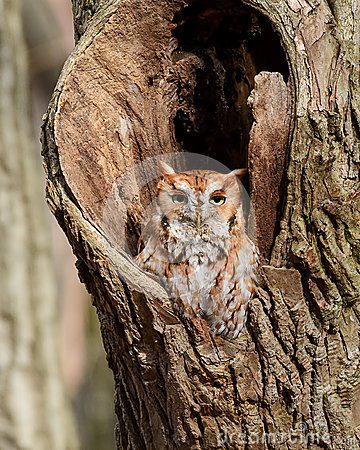 Free Red Phase Eastern Screech Owl Stock Image - 88308151