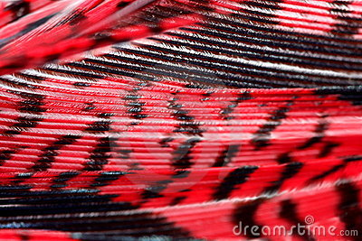 Red pheasant  feather,macro