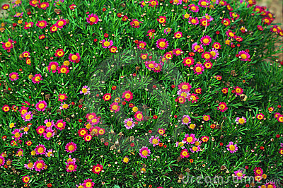 Red and Pink Daisies