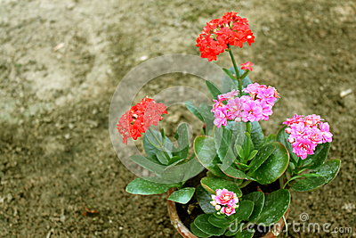 Red and pink flowers in pot