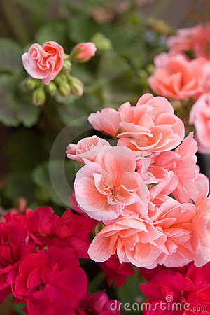 Red and pink geranium