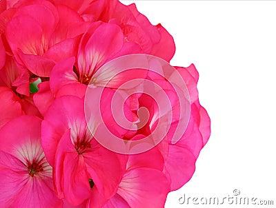 Red Pink Geranium