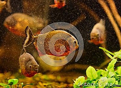Red piranha (Serrasalmus nattereri)