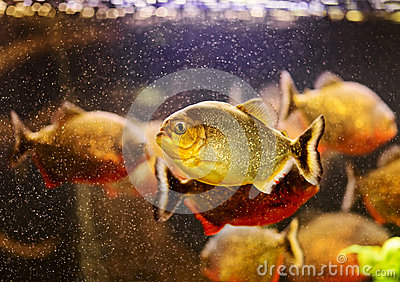 Red piranha swimming underwater