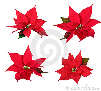 Free Red Poinsettia Stock Images - 1443434