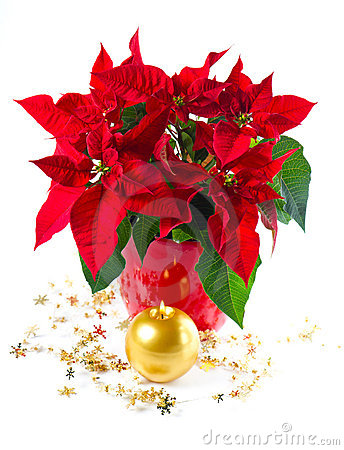 Red poinsettia. christmas flower