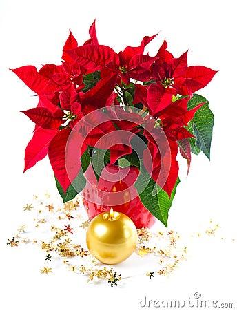 Red poinsettia. christmas flower