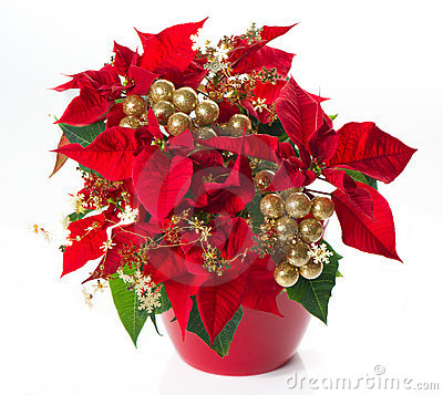 Red poinsettia. christmas flower with golden deco