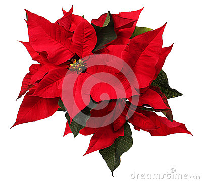 Free Red Poinsettia Flower Isolated. Christmas Flowers Royalty Free Stock Image - 47820486