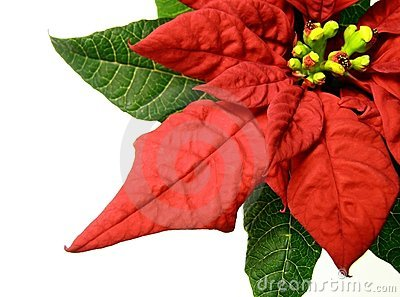 Red poinsettias Christmas flower