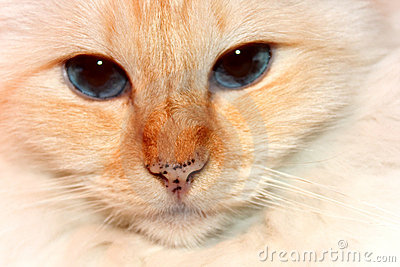 Red Point Birman Cat