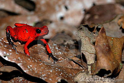 A red poison arrow frog on a leaf