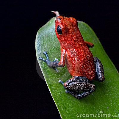 Red poison dart frog Costa Rica jungle