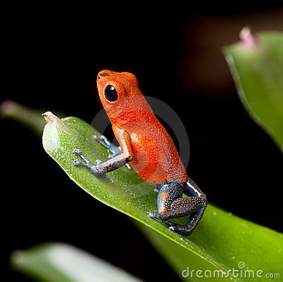 Red poison dart frog jungle costa rica