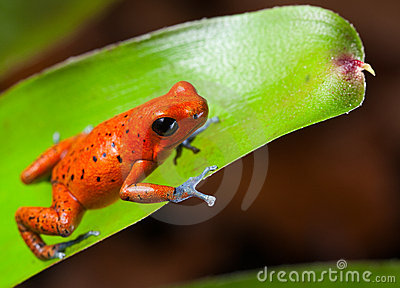 Red poison dart frog panama rain forest