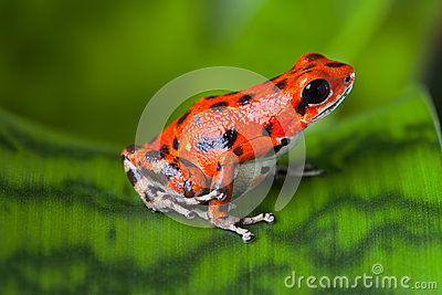 Red poison frog