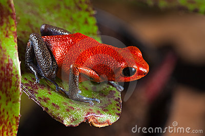 Red poison frog exotic poisonous animal
