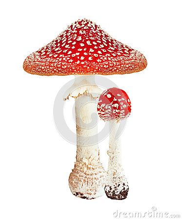 Free Red Poison Mushroom Amanita Royalty Free Stock Image - 33493166