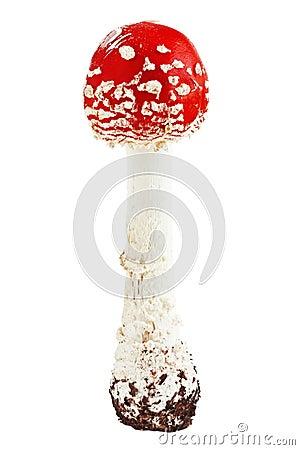 Red poison mushroom amanita