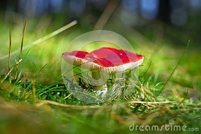 Red poisoned toadstool