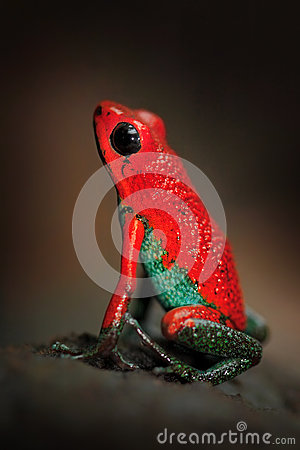 Free Red Poisson Frog Granular Poison Arrow Frog, Dendrobates Granuliferus, In The Nature Habitat, Costa Rica. Beautiful Exotic Animal Royalty Free Stock Images - 75950839