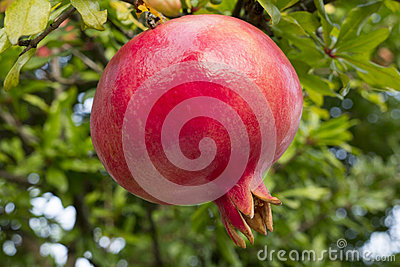 Red pomegranate from the tree