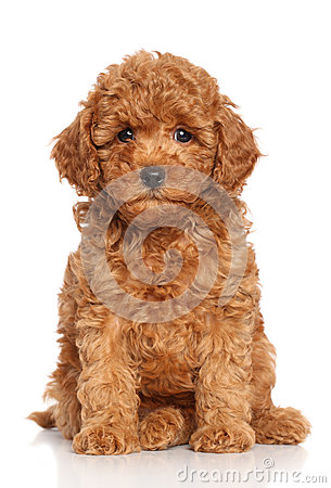 Free Red Poodle Puppy Stock Image - 27247101