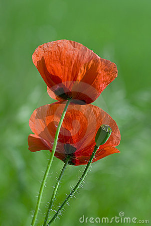 Free Red Poppies Royalty Free Stock Photography - 21910887