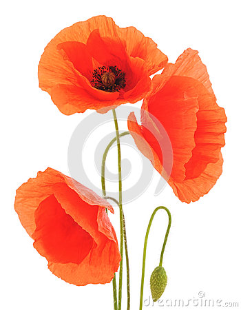 Free Red Poppies. Royalty Free Stock Photography - 95062997